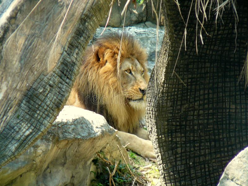 在Chaing Mai的狮子,泰国动物园 库存图片
