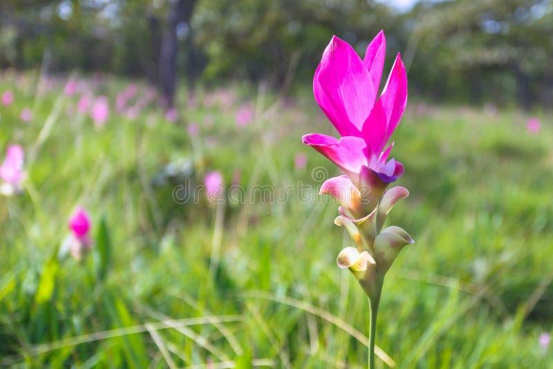 在Chaiyaphum,泰国参观泰国在雨季的郁金香花秀丽  免版税库存图片