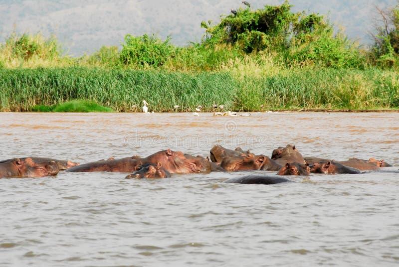 在Chamo湖(埃塞俄比亚)的河马 库存图片
