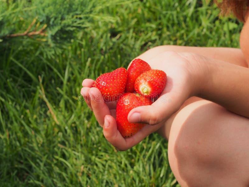 在child& x27的大草莓; s手 收获 库存图片
