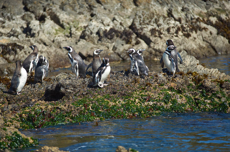 在Chiloé的企鹅 库存照片