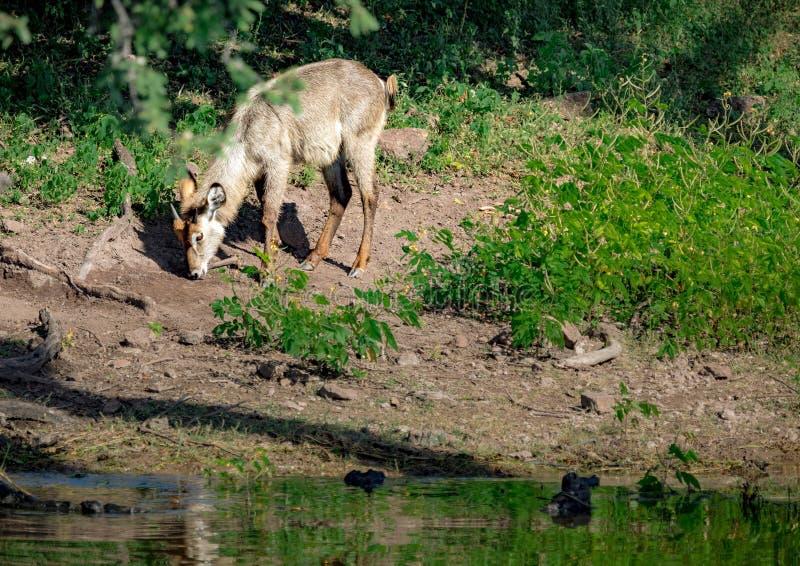 在Chobe河附近的年轻男性Waterbuck在博茨瓦纳 库存图片