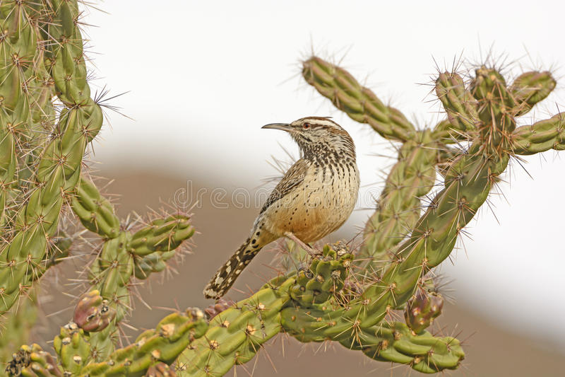 在Cholla的仙人掌鹪鹩在沙漠 免版税库存照片