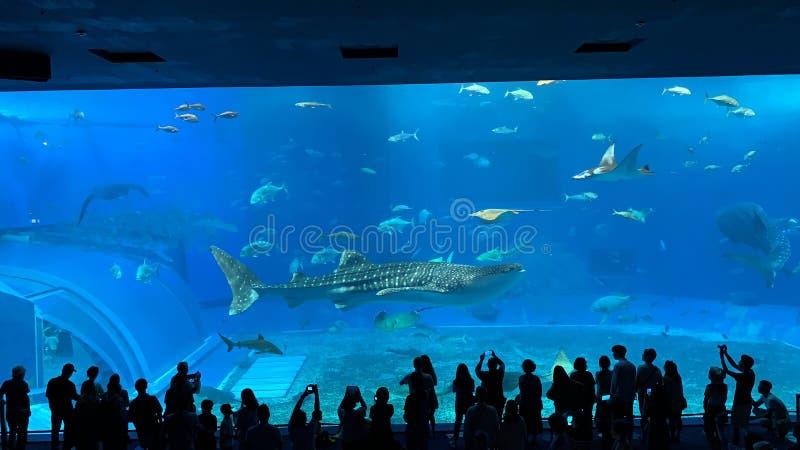在Churaumi水族馆,冲绳岛的一条巨型鲸鲨 免版税库存图片