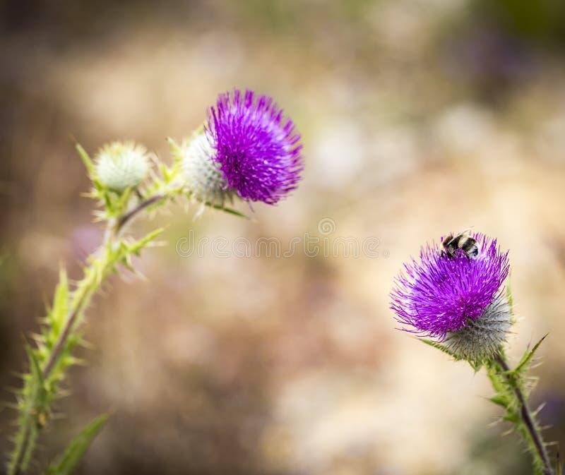 在Cirsium羊胡子草的蜂-羊毛制紫色蓟 免版税库存照片