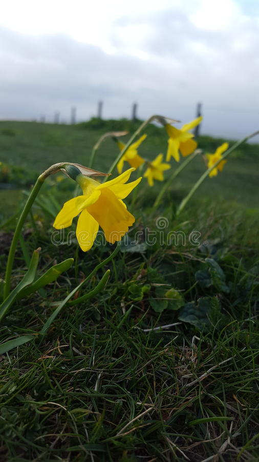 在clifftop的黄水仙 图库摄影