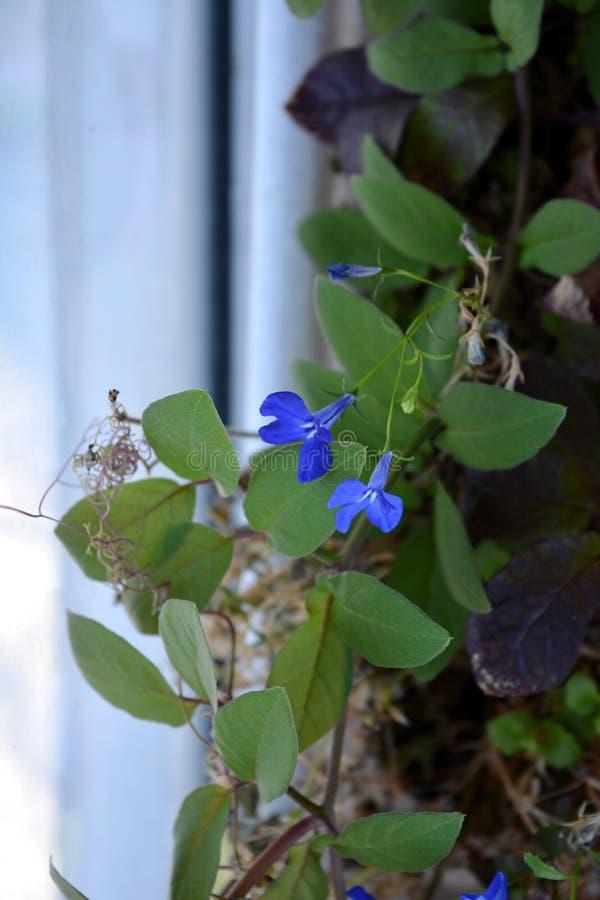 在cobaea中绿色叶子的蓝色山梗菜花  库存照片