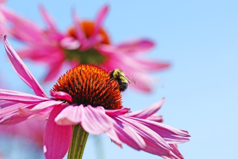 在coneflower的土蜂 库存照片