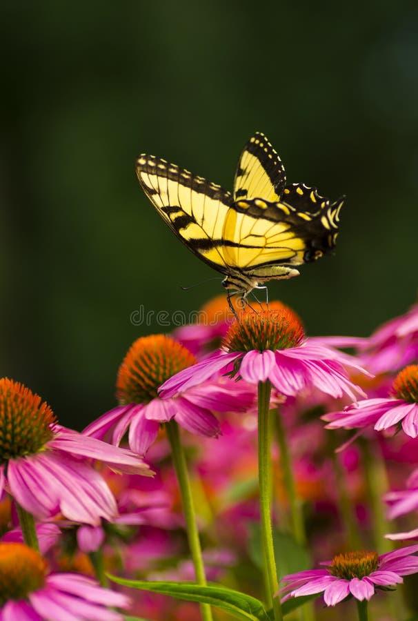 在coneflower的Swallowtail蝴蝶 库存图片