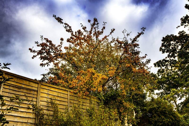 在Crowhurst,东萨塞克斯郡,英国的山楂子树 免版税库存图片