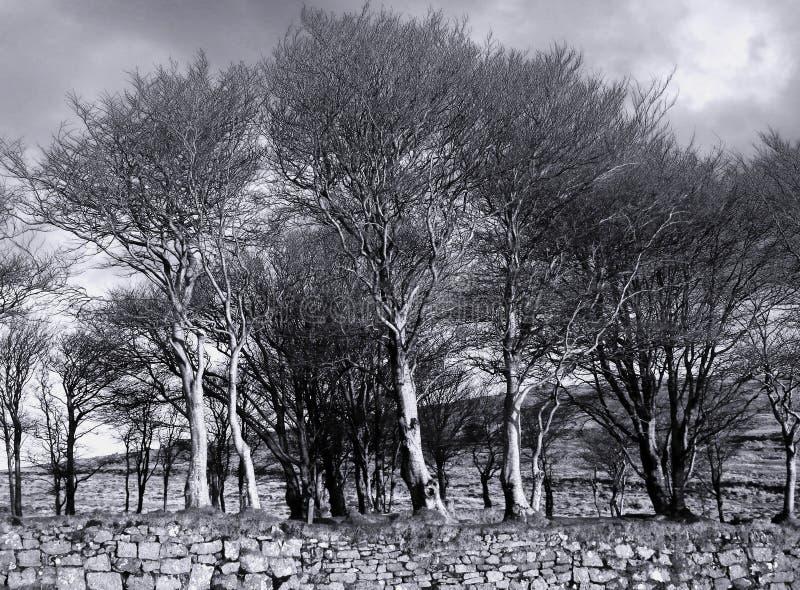 在Dartmoor德文郡英国的光秃的冬天树 免版税图库摄影