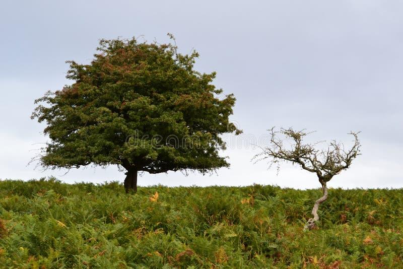 在Dartmoor的两棵树 免版税库存照片