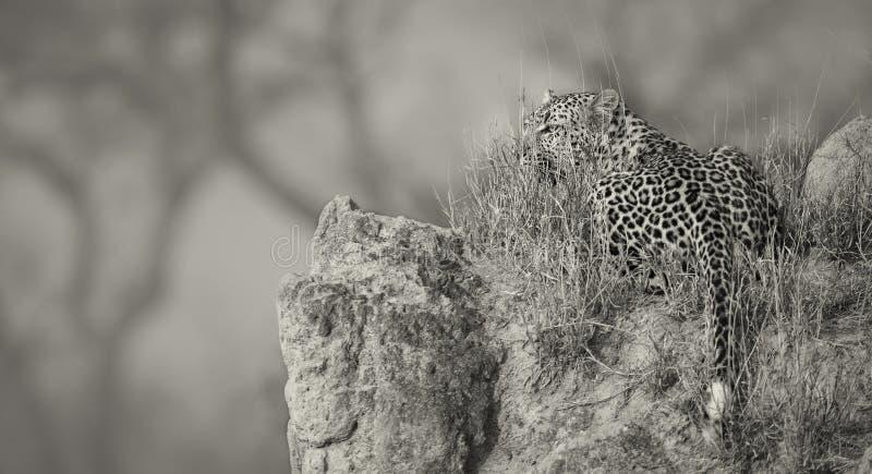 在daytim期间,孤立豹子放下基于蚁丘本质上 免版税库存照片