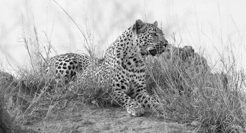 在daytim期间,孤立豹子放下基于蚁丘本质上 库存图片