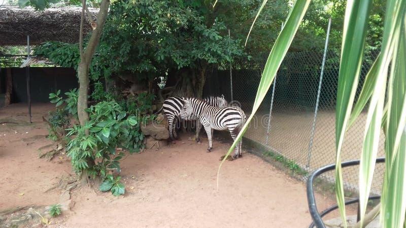 在Dehiwala动物园的可爱的斑马 免版税库存图片