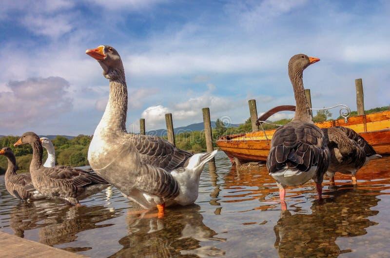 在Derwent水,凯西克,英国的灰雁 图库摄影