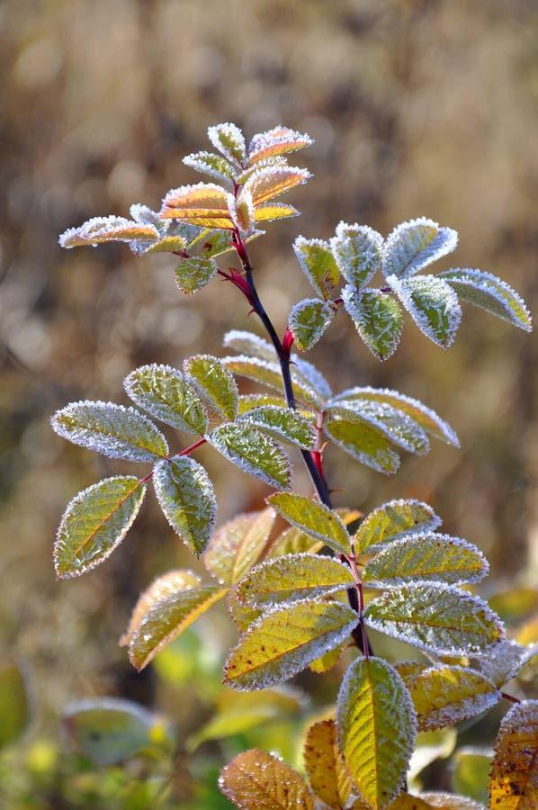在dogrose分支的树冰 免版税库存图片