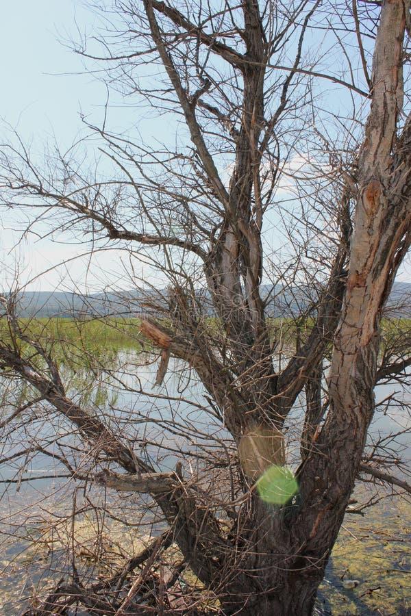 在Doirani基尔基斯州希腊湖的被放弃的树  图库摄影