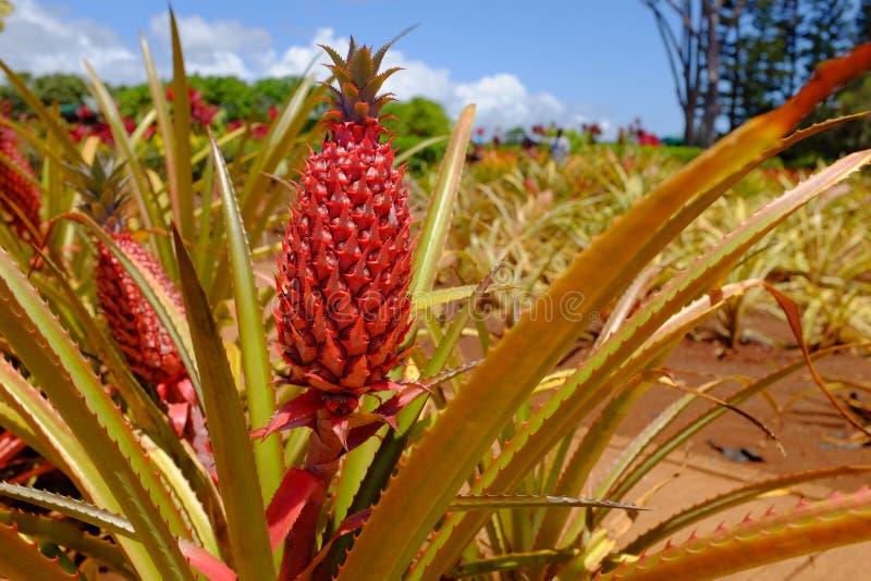 在Dole种植园的年轻菠萝 库存照片