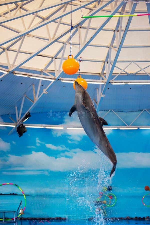 在dolphinariums的海豚跳高到球 库存照片