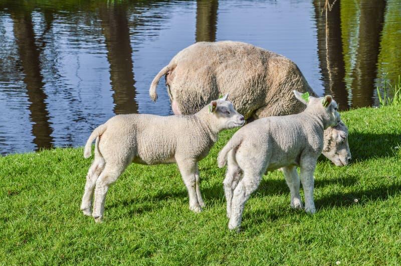 在Duivendrecht的荷兰羊羔和母亲绵羊荷兰 库存图片