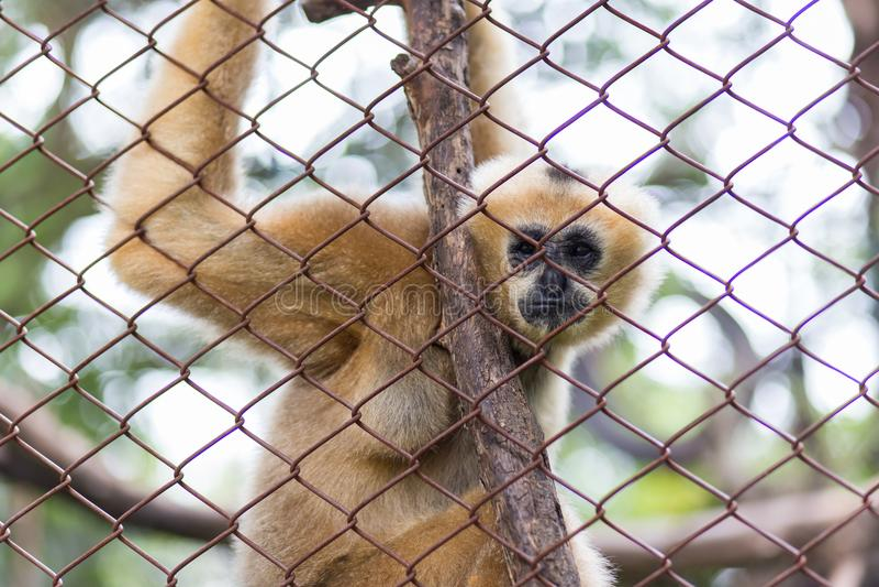 在Dusit动物园,泰国里胡闹,布朗长臂猿或家神长臂猿 库存照片