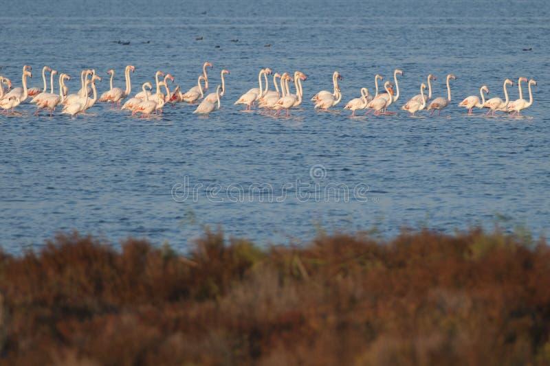 在Ebro Delta的火鸟 库存照片