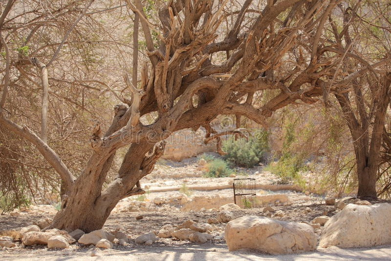 在Ein Gedi沙漠绿洲的老树  库存图片