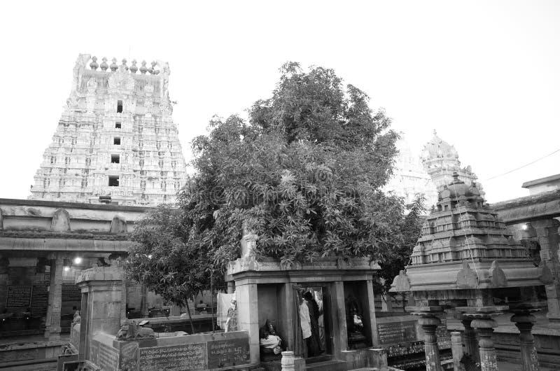 在Ekambrareswarar寺庙的蒙戈币树 图库摄影