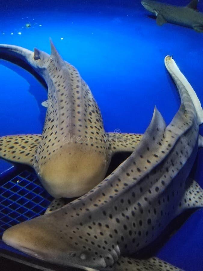 在Enoshima水族馆的鲨鱼 库存图片