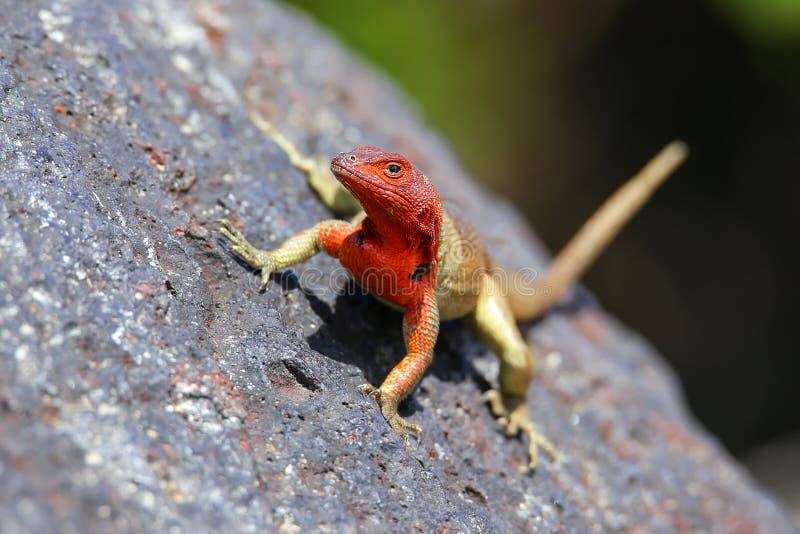 在Espanola海岛,加拉帕戈斯全国p上的母敞篷熔岩蜥蜴 免版税库存图片
