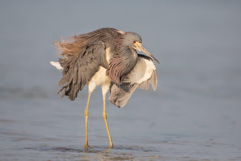 在Estero盐水湖,迈尔斯堡,佛罗里达的Tricolored苍鹭 免版税库存图片