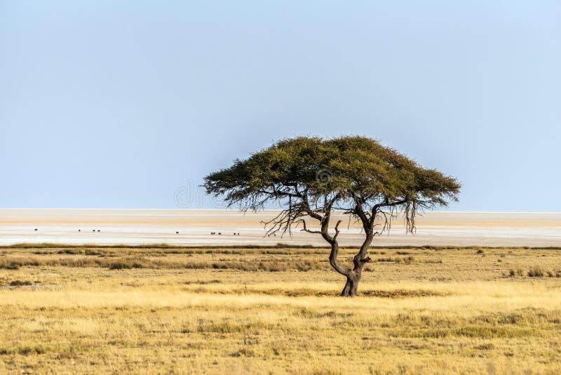 在Etosha国家公园开放大草原平原的大金合欢树  库存照片
