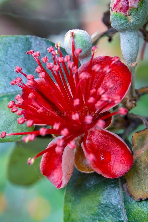 在feijoa花瓣的露滴 库存照片