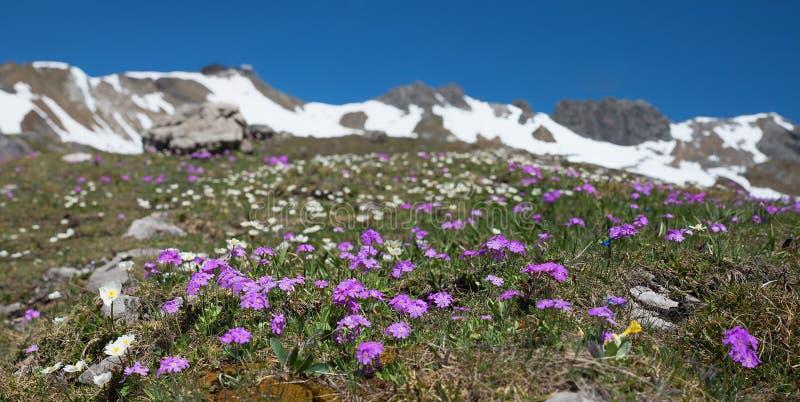 在fellhorn山的开花的樱草属, allgau阿尔卑斯 库存图片