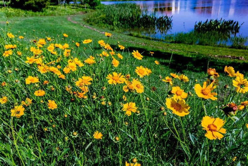 在Fi的美丽的明亮的黄色Lanceleaf Coresopsis野花 免版税图库摄影