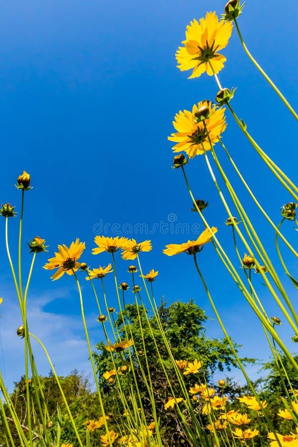 在Fi的美丽的明亮的黄色Lanceleaf Coresopsis野花 库存图片