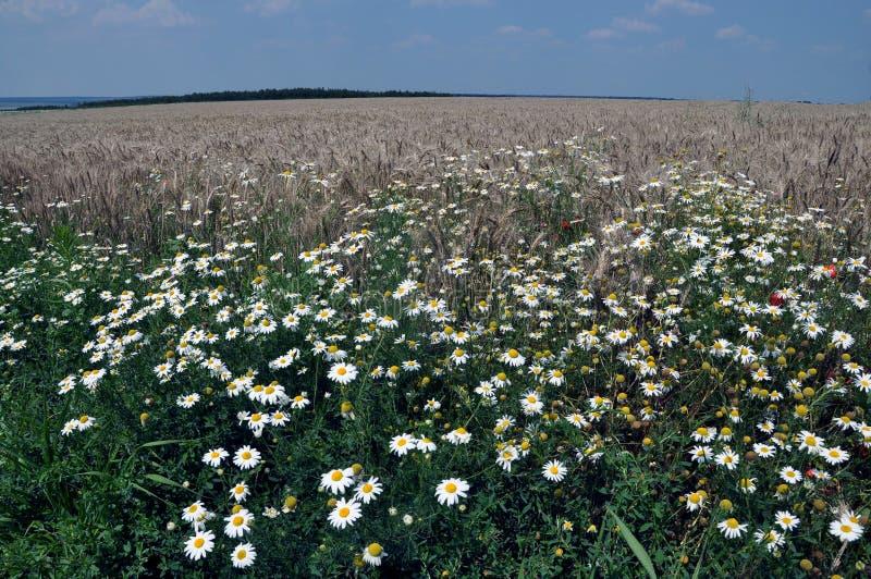 Download 在field_5的开花的雏菊 库存图片. 图片 包括有 农业, beauvoir, 蓝色, 麦子, 眼镜 - 72368131