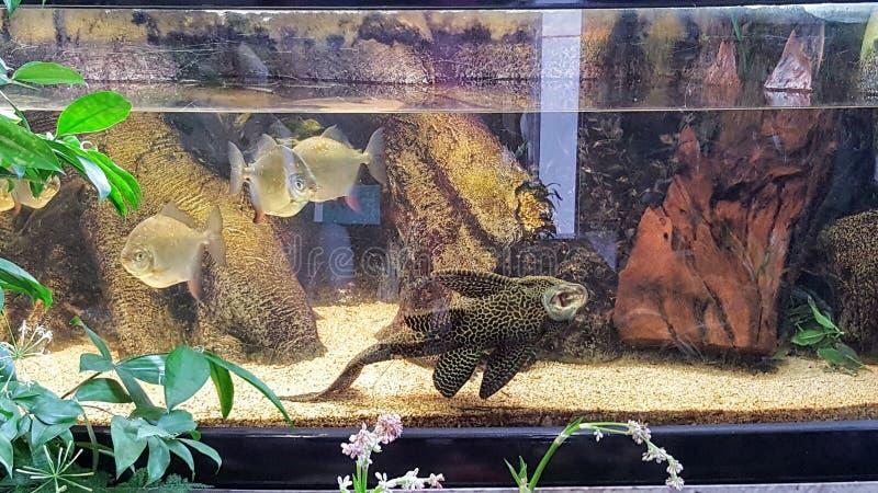 在fishtank的一条罕见的鱼 库存图片