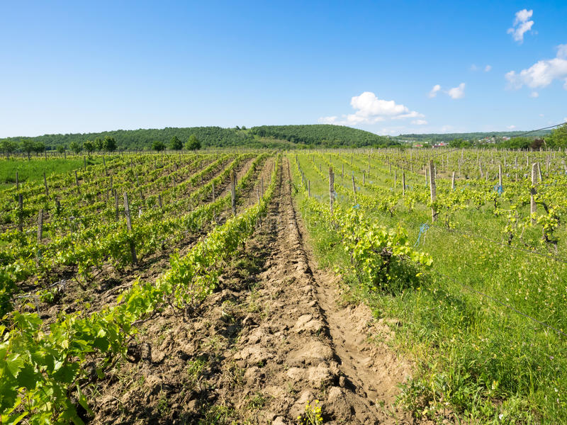 在Focsani,罗马尼亚附近的葡萄园,在春天 库存图片