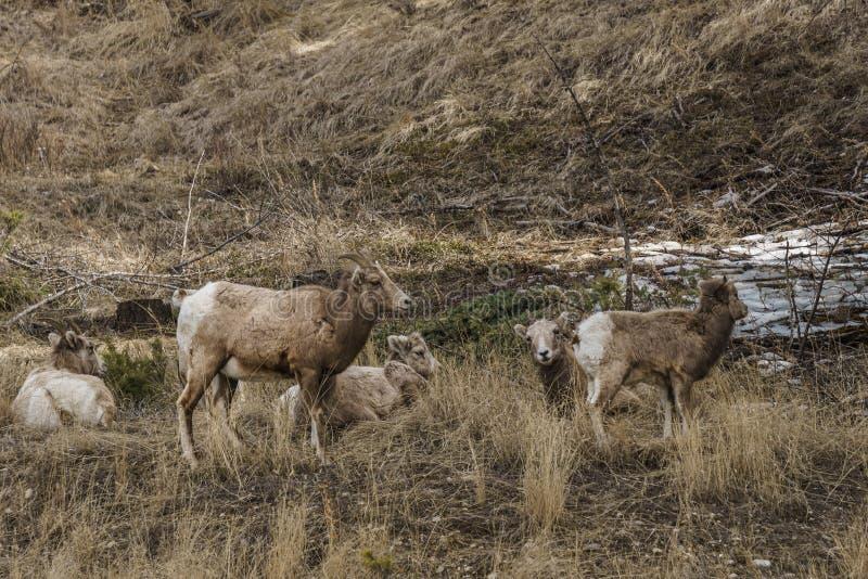在foresr的比格霍恩母绵羊或母羊羊属canadensis大哺乳动物在不列颠哥伦比亚省加拿大东部 图库摄影