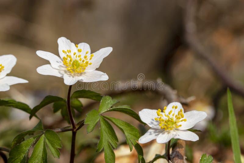 在forrest的白色银莲花属 库存照片