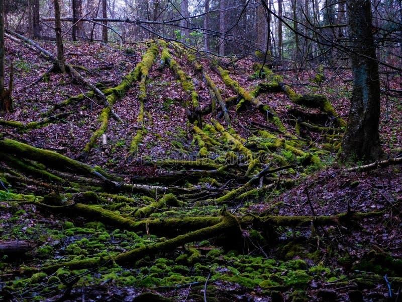 在Forst的下落的树 库存照片