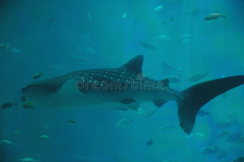 在GA的鲸鲨游泳 免版税库存照片