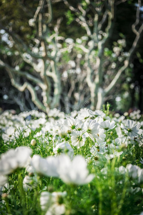 在garden5的白色波斯菊花 免版税库存照片