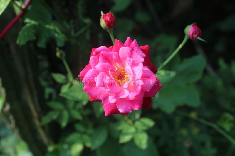 在gardon的桃红色花与两litil花 图库摄影