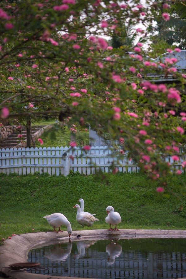 在gargen的鸭子 免版税图库摄影