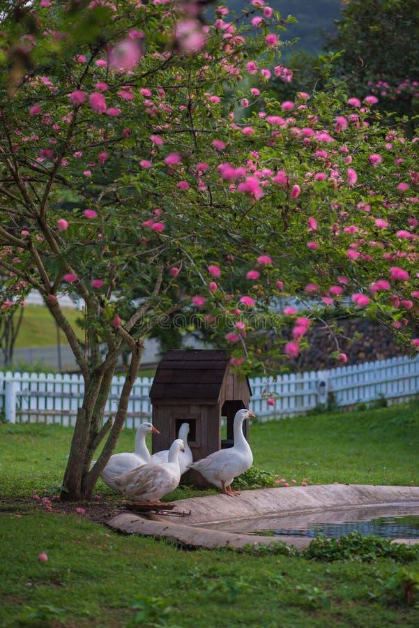 在gargen的鸭子 免版税库存图片