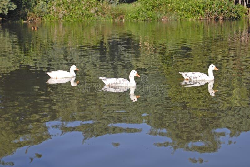 在Gilloolys农场的三只鸭子 免版税库存照片