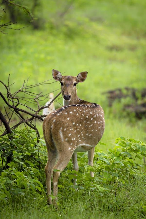 在Gir国家公园,印度的被察觉的鹿 库存照片